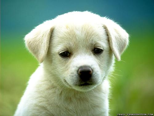 puppies wallpapers. cute-puppy-dog-wallpapers.