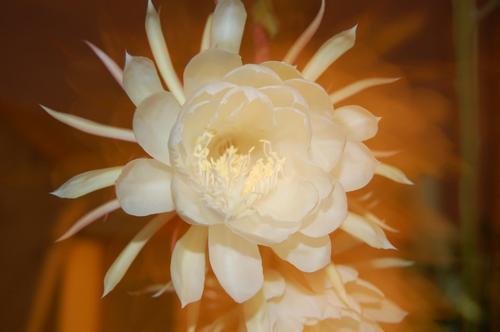Moon Flower Blooms