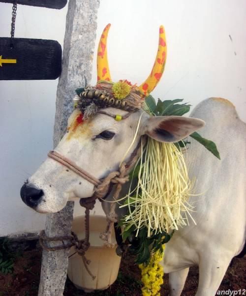 பொங்கும் மங்களம் | Pongal festival ...