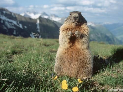 nature animals of marmot squirrel habitat