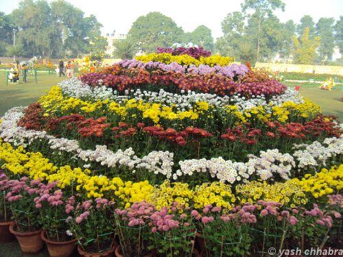 Chrysanthemum Flowers Show Held At Terraced Garden , Chandigarh | Sulekha  Creative